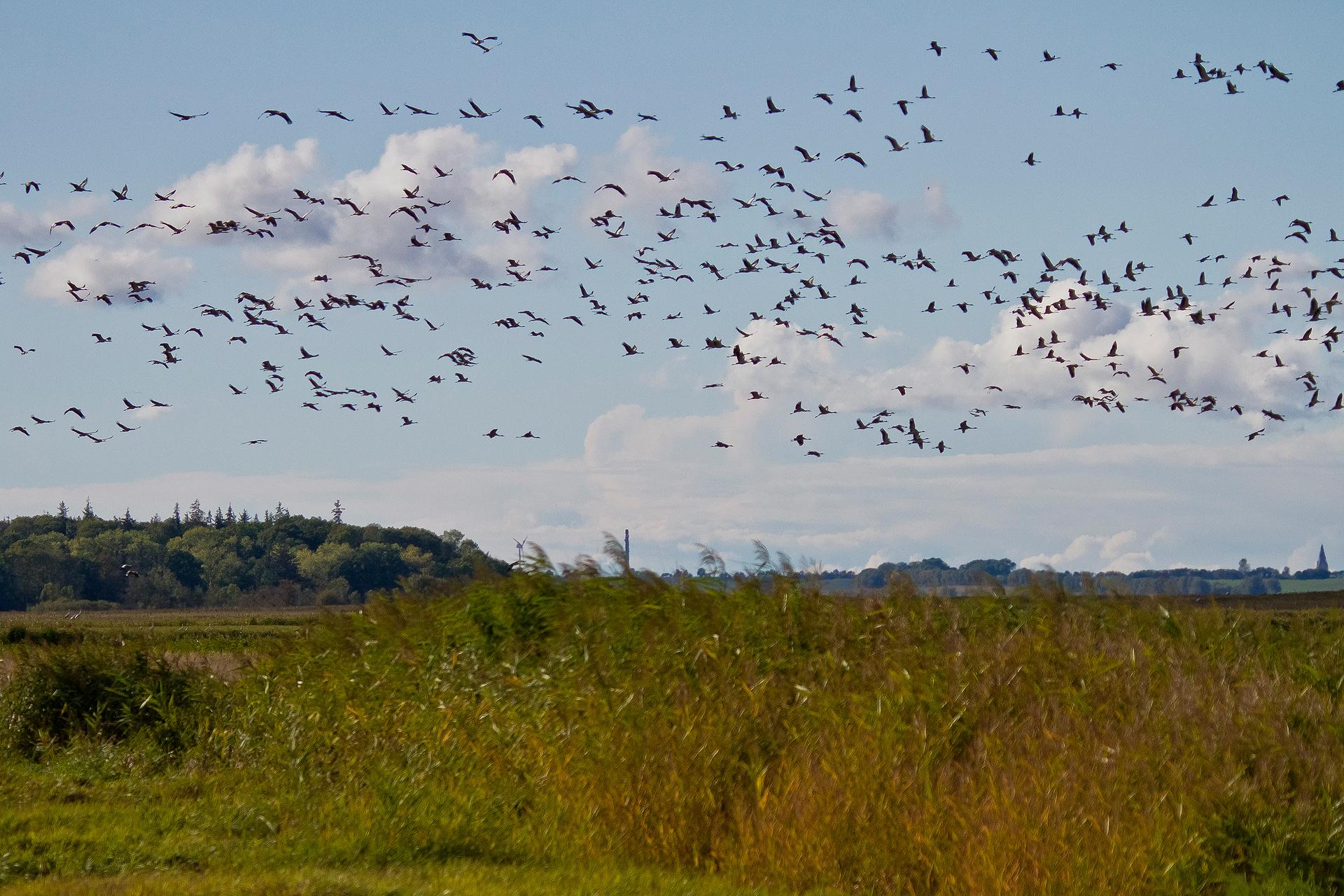 Auf den umliegenden Wiesen rasten viele Kraniche, die von unserem Fotoversteck aus nicht sichtbar sind ...