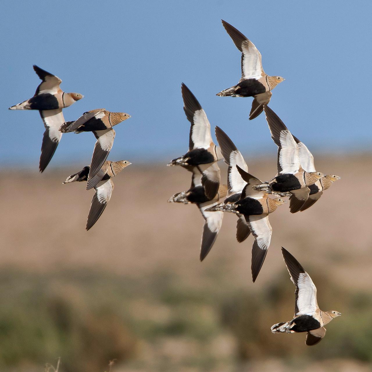 ... ihre Flugformationen über der Jandia