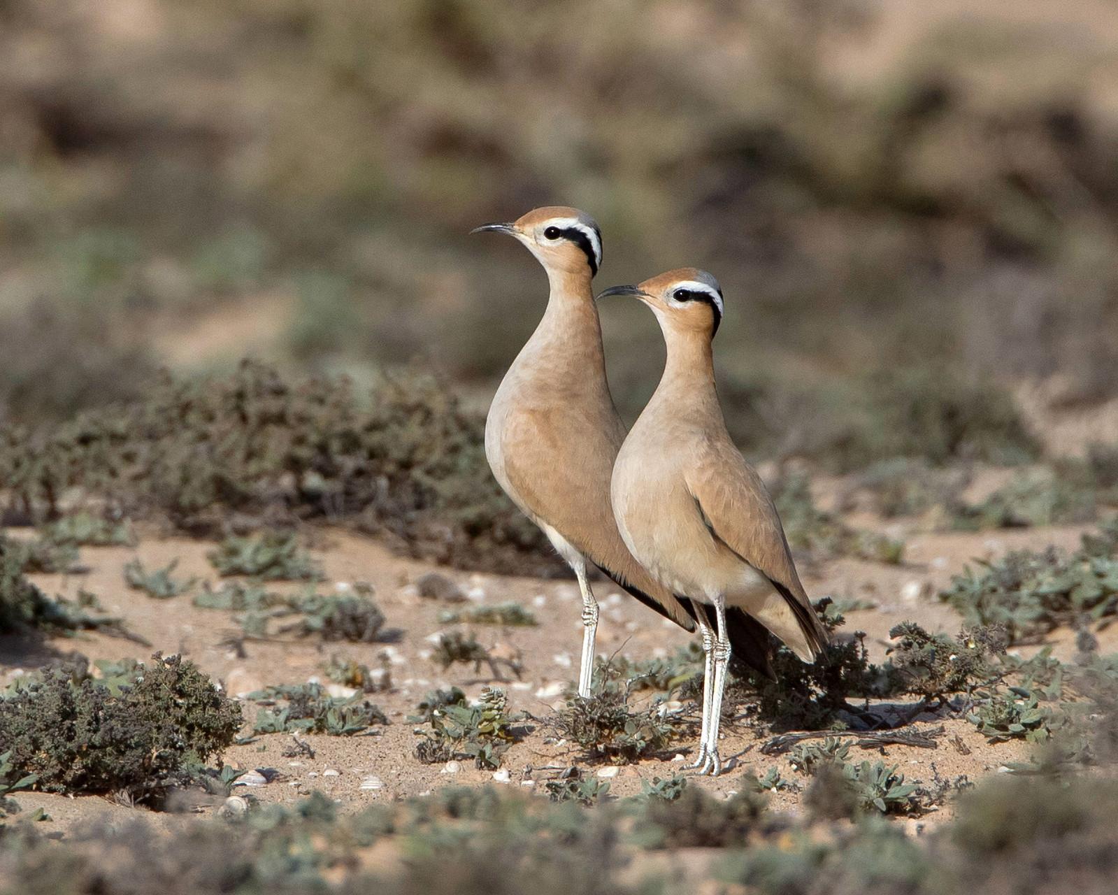 Zwei Rennvögel behalten den Überblick