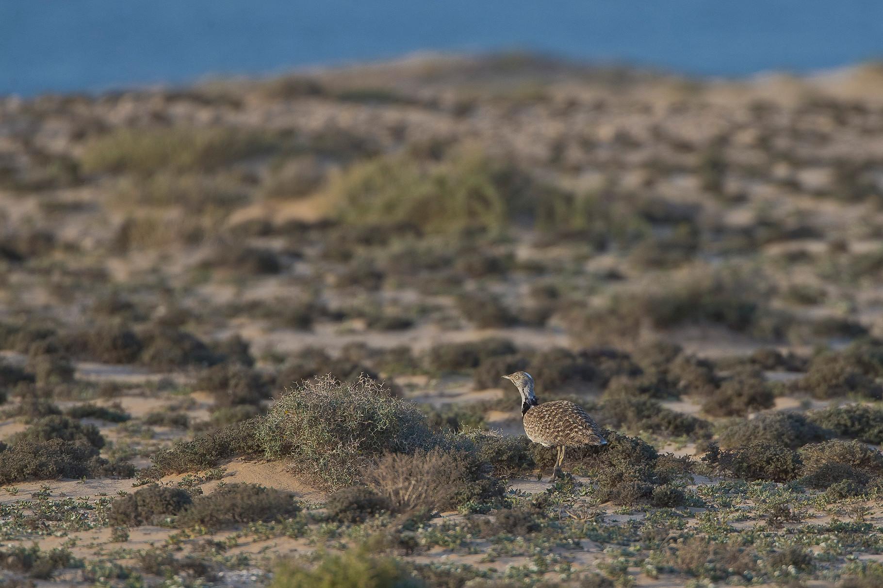 Die Saharakragentrappe verschwindet in der Einsamkeit der Dünenlandschaft