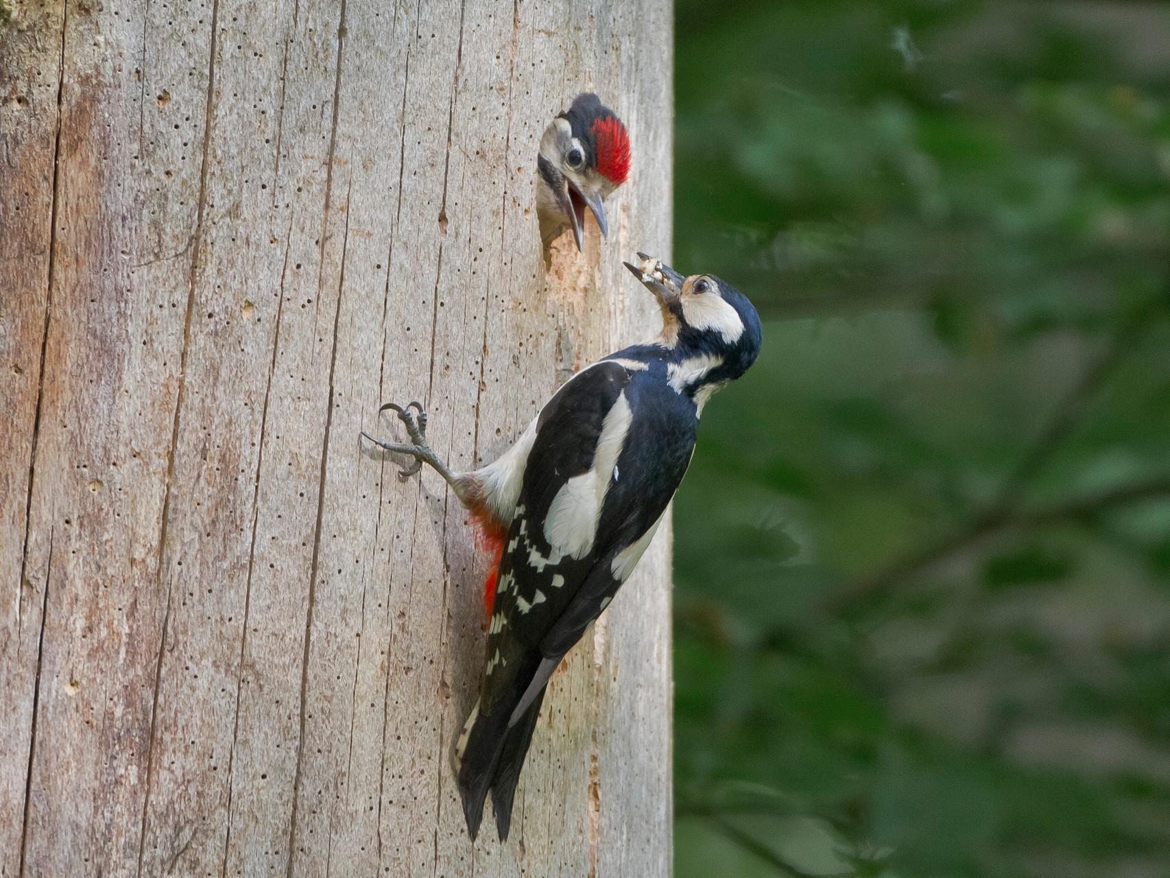 Die Altvögel (hier das Weibchen) bringen vor allem Insektenlarven zur Fütterung