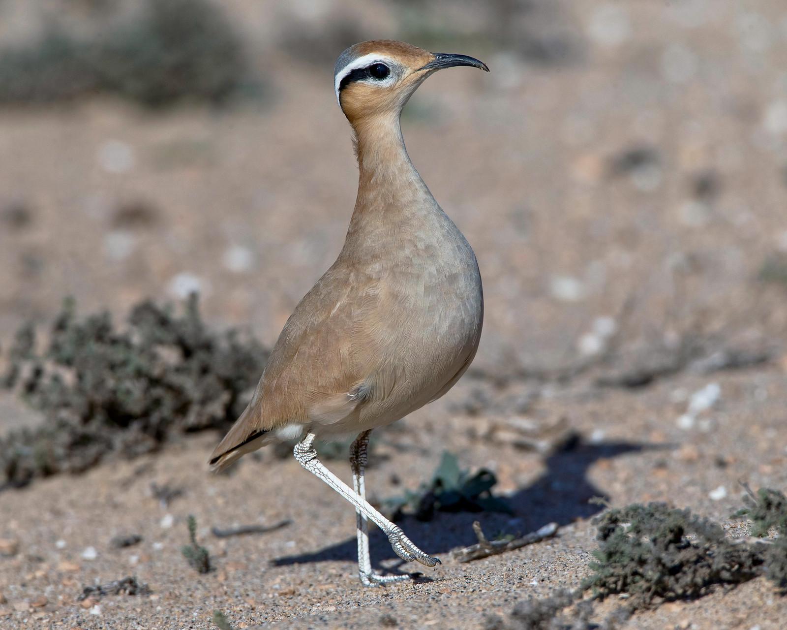 Der Rennvogel kommt in Europa als Brutvogel nur auf Fuerteventura und Lanzarote vor.