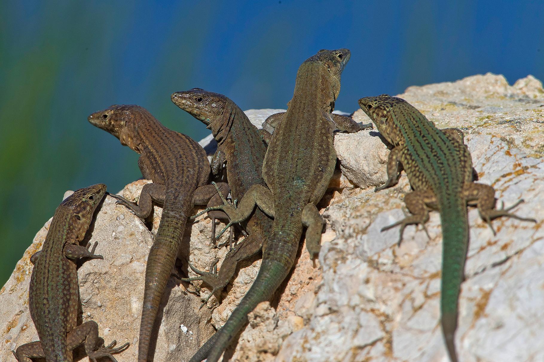 Dragonera-Eidechsen (Podarcis lilfordi ssp.giglioli) sind sehr gesellig...