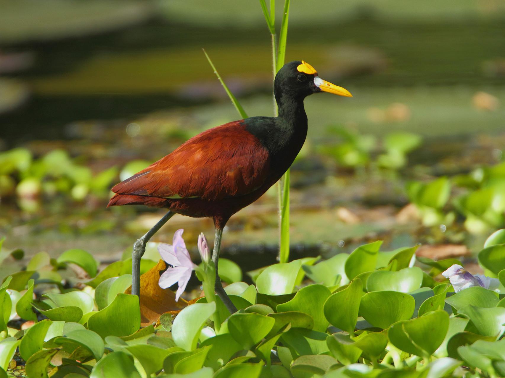Auf dem grossen Gelände des CATIE sind Wasservögel zu beobachten wie das Gelbstirn-Blatthühnchen...