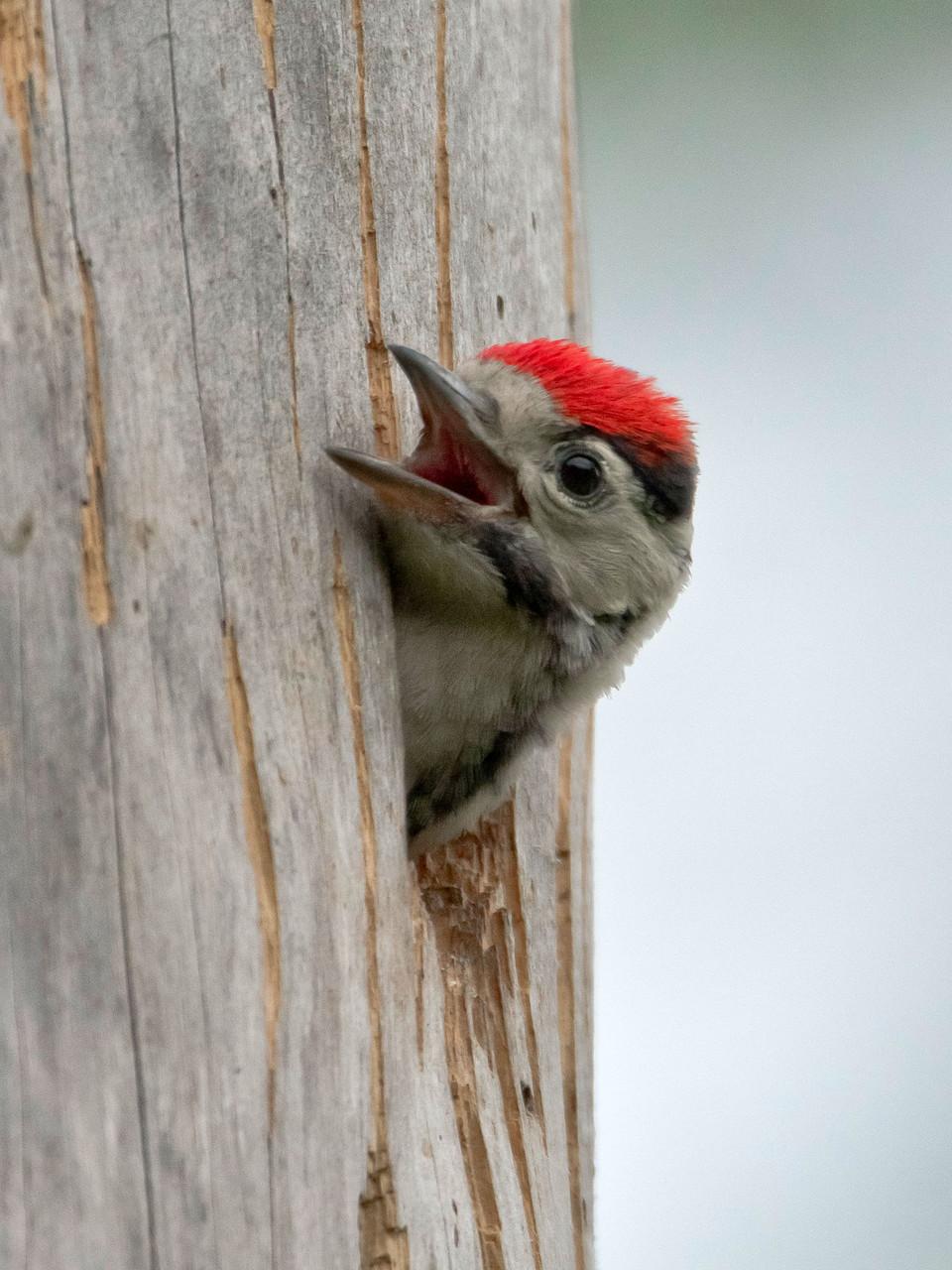Die Jungvögel hört man kurz vor dem Ausfliegen intensiv aus der Baumhöhle rufen
