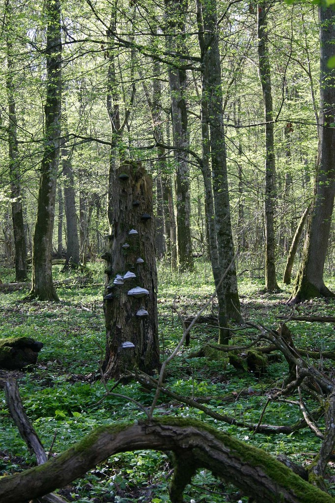 "Im ""Strict Reserve"" des Bialowieza-Nationalparks..."