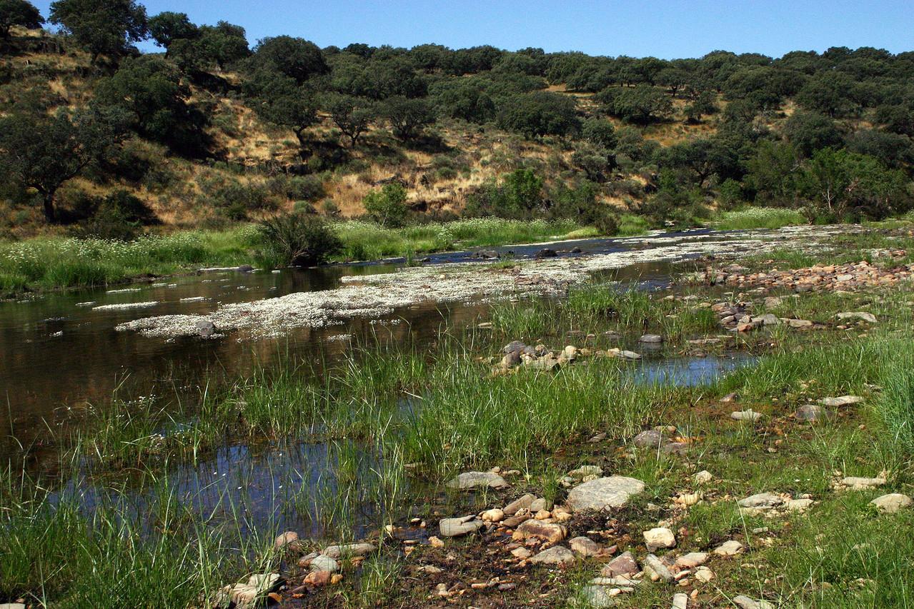 Im Rio Almonte blüht der weisse Flutende Hahnenfuss
