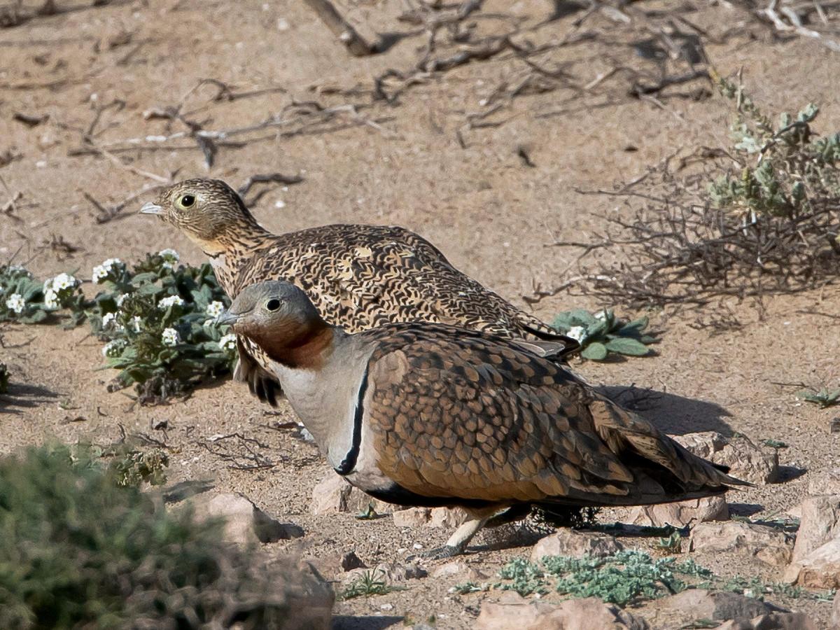 Sandflughühner (vorne Männchen hinten Weibchen) ...
