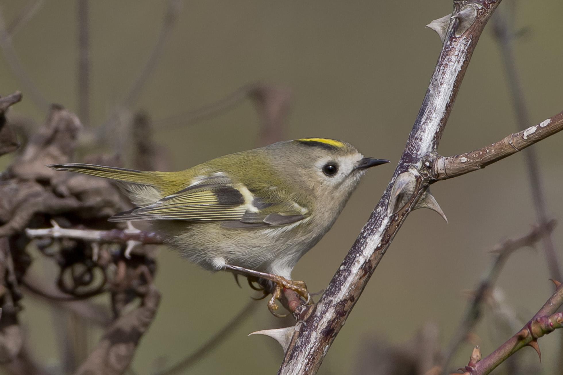 Die kleinen Singvögel begegnen uns auf Schritt und Tritt ...