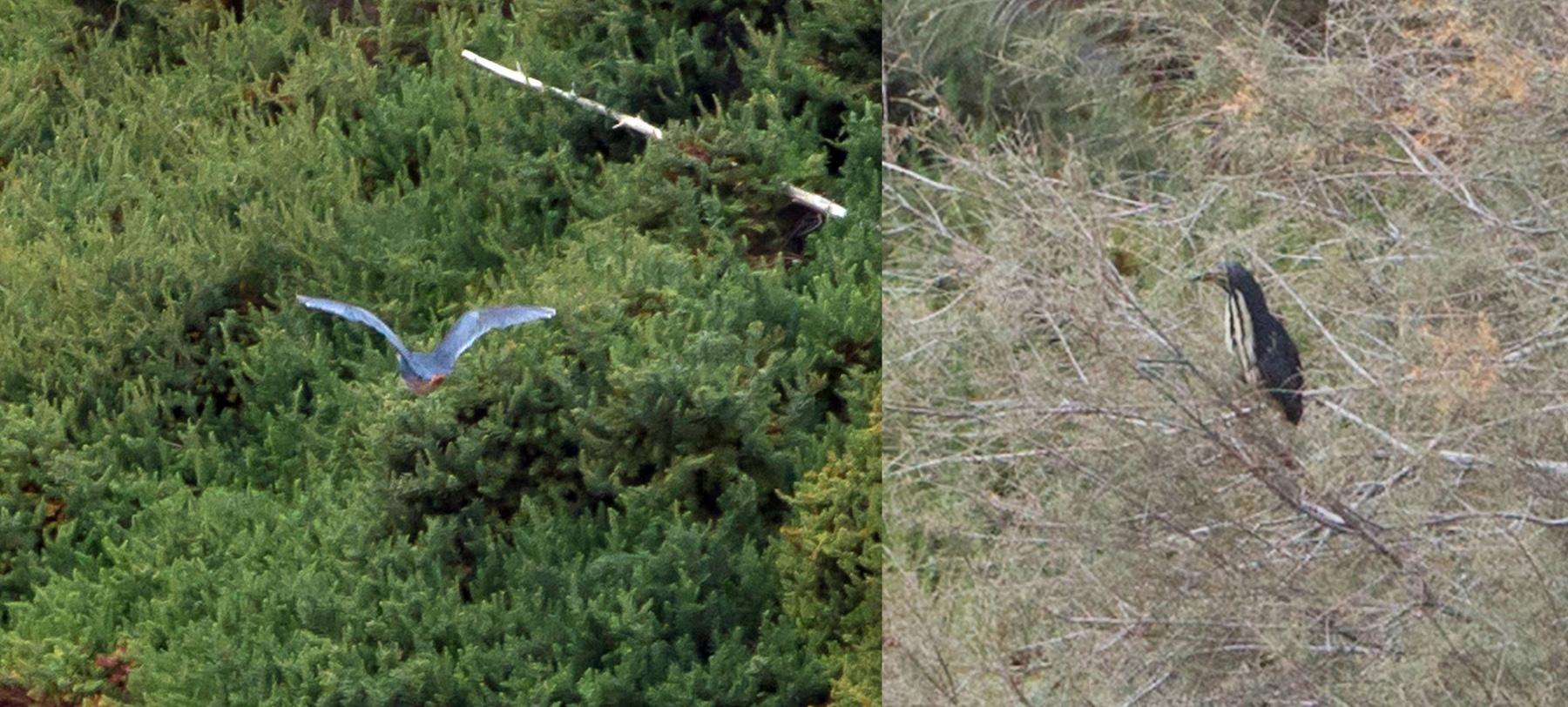 Von der eigentlichen Attraktion, einer seit Monaten dort weilenden Graurückendommel, gibt es nur Belegbilder