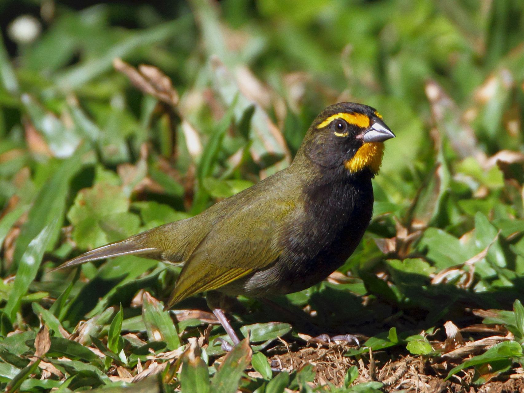 ... und die Goldbraue (Yellow-faced Grassquit).