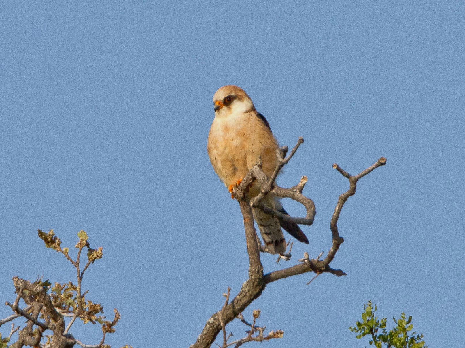 Ein Rotfussfalken-Weibchen auf dem einsamen Platania-Trail...