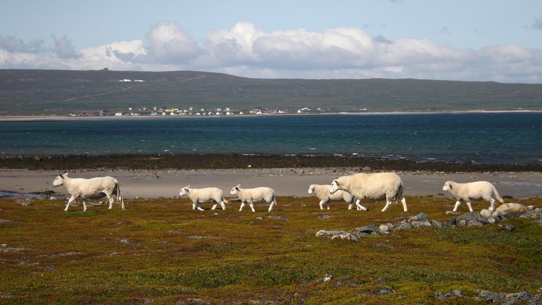 Küstenlandschaft mit den allgegenwärtigen Schafen vor der Ortschaft Skallelv