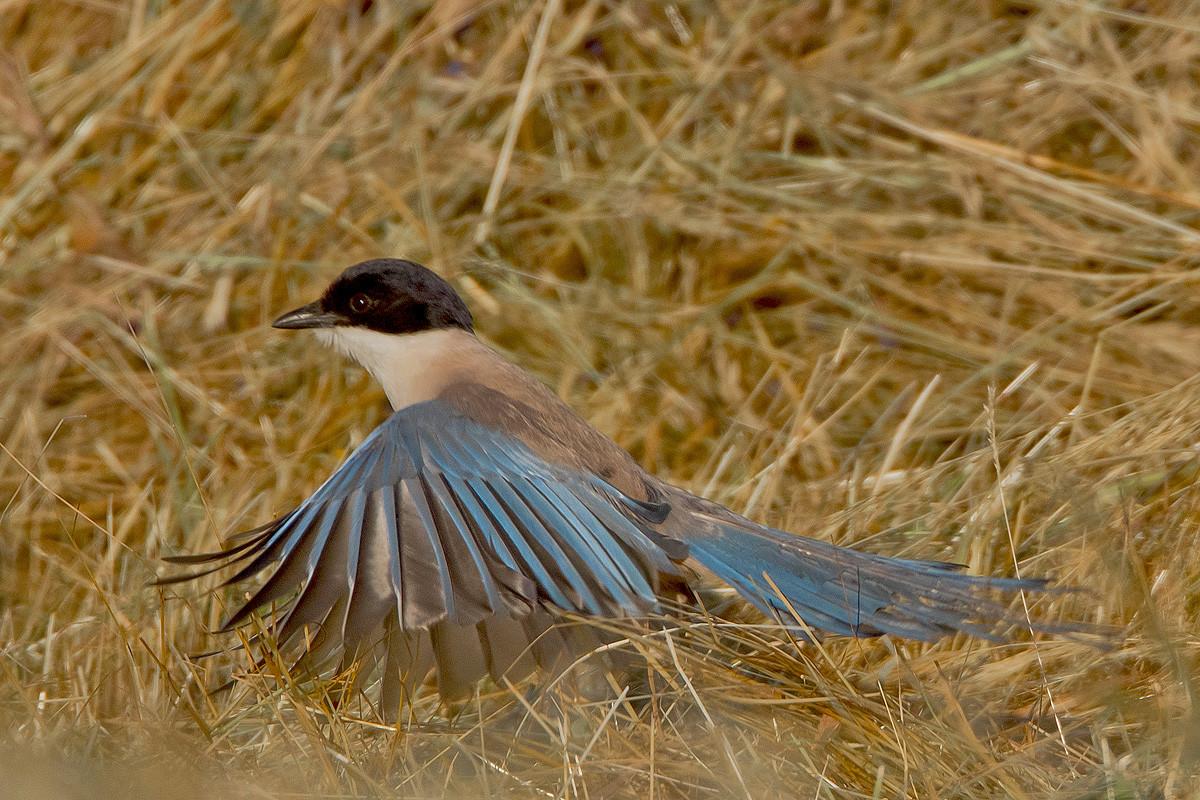 Blauelster, im Gegensatz zu unseren Elstern relativ scheue Vögel