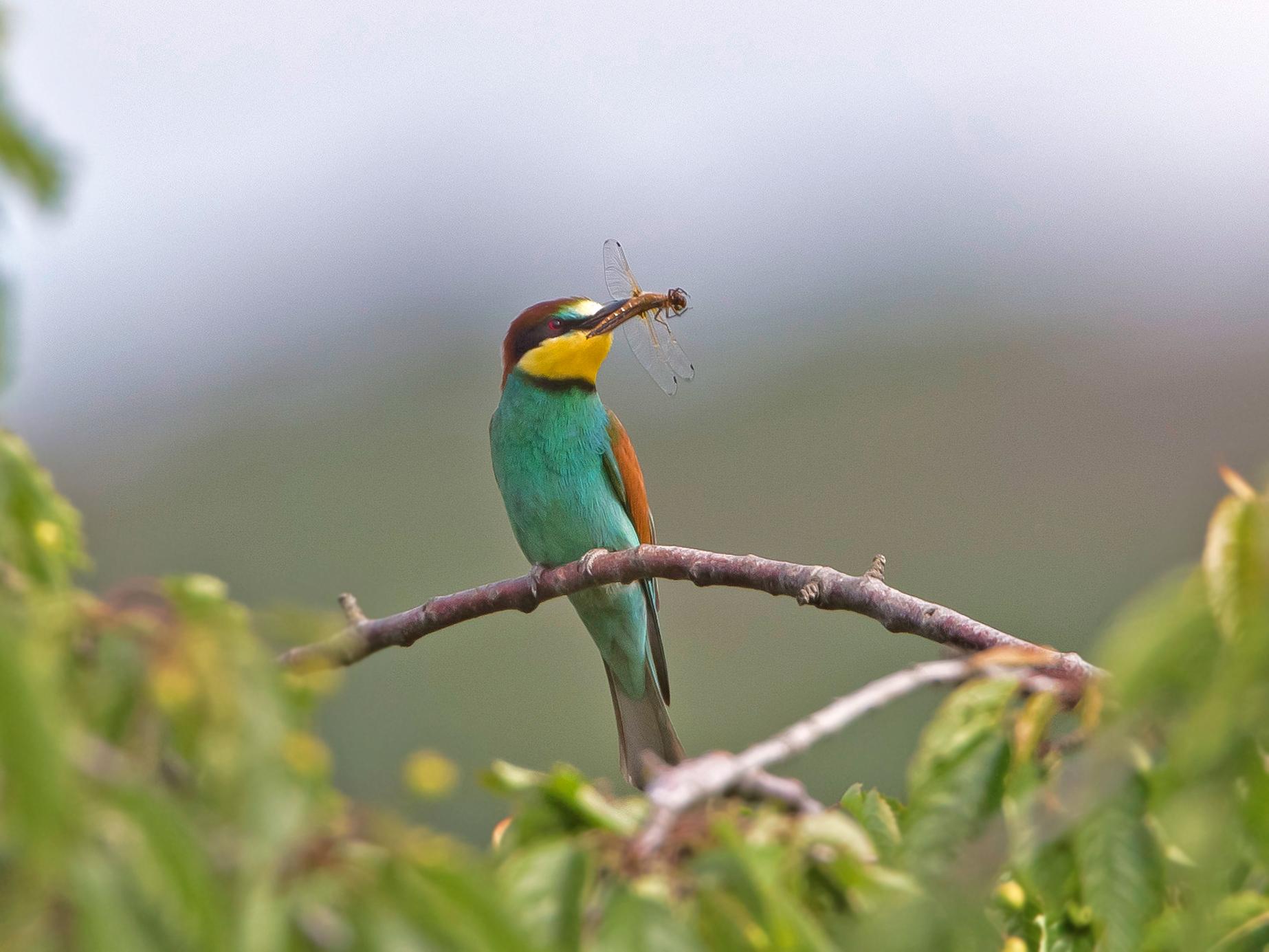 Die Männchen bringen Brautgeschenke in Form von Gross-Insekten wie Libellen, Käfer und Bienen.