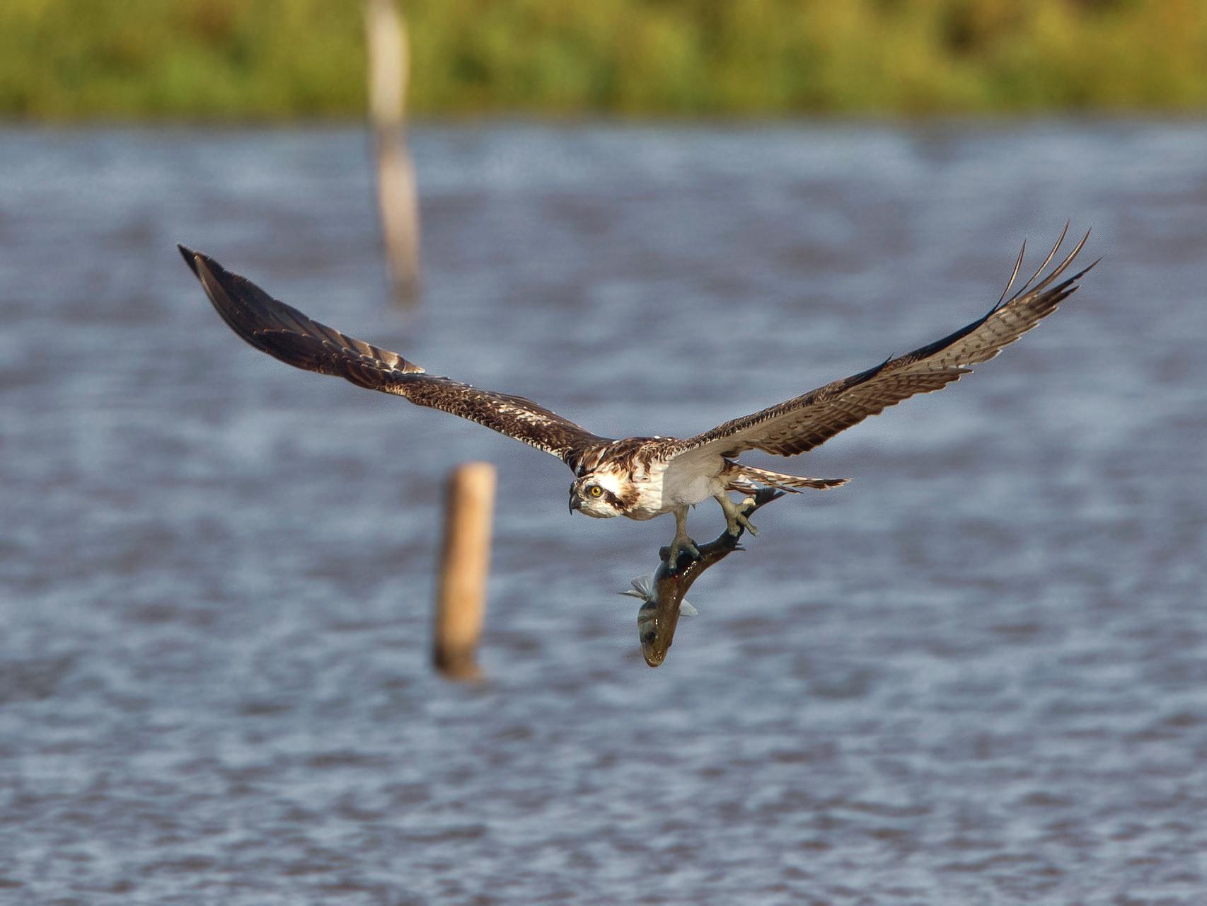 Ein weiterer Fischadler....