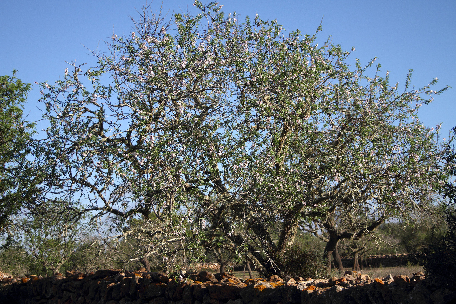 Dieser Mandelbaum blüht etwas ausserhalb der Saison