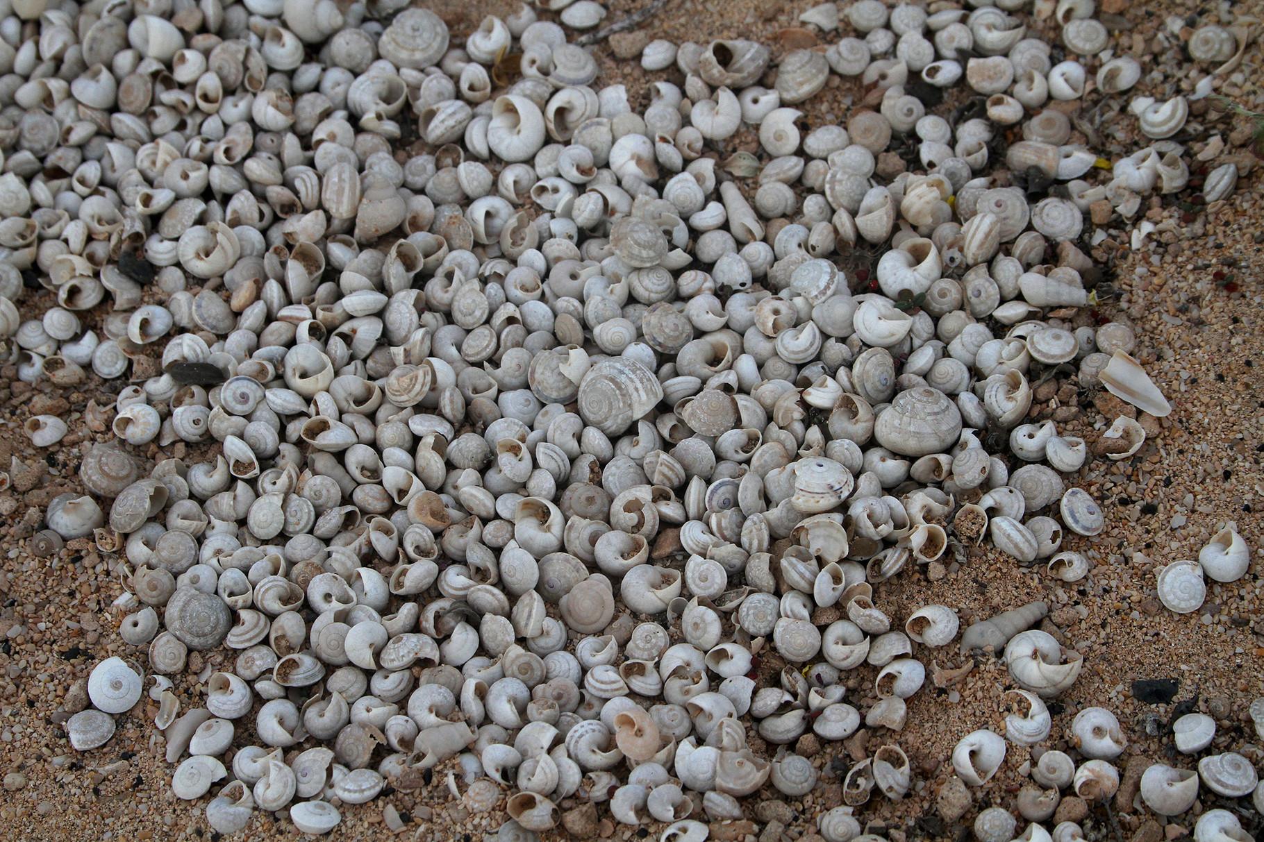 Immer wieder trifft man auf eigenartige Ansammlungen von Schneckenhäuschen auf dem Sand