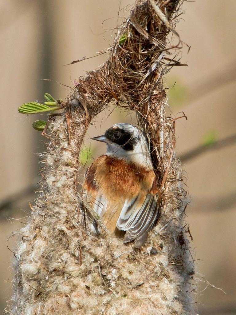 Beutelmeise beim Nestbau, Biebrza-Nationalpark, Polen