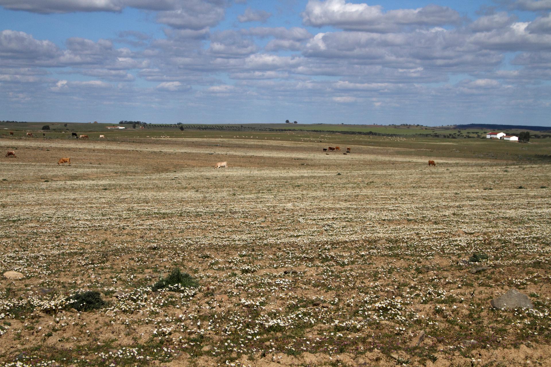 Hier haben die Rinder noch viel Platz und Auslauf, wenn auch bei etwas kargem Futterangebot