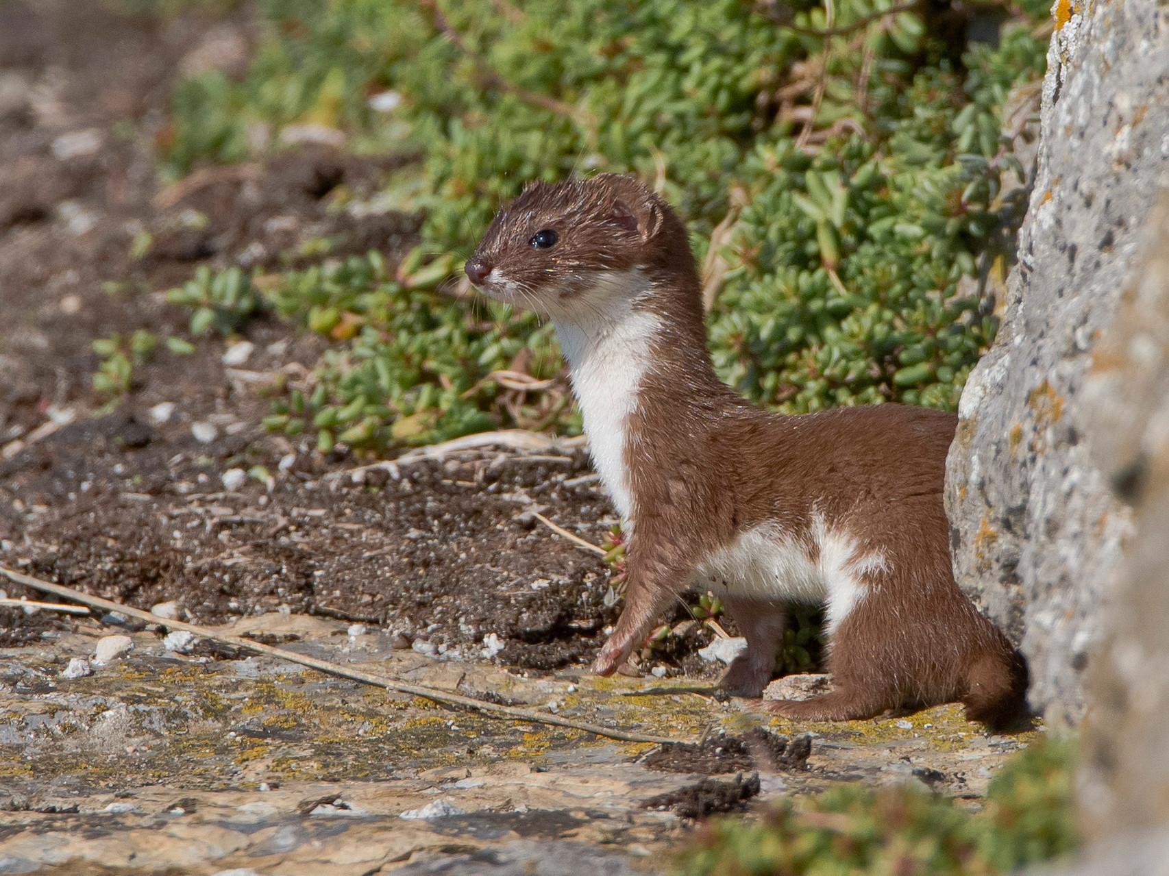 Es ist um einiges kleiner als sein Verwandter, das Hermelin.