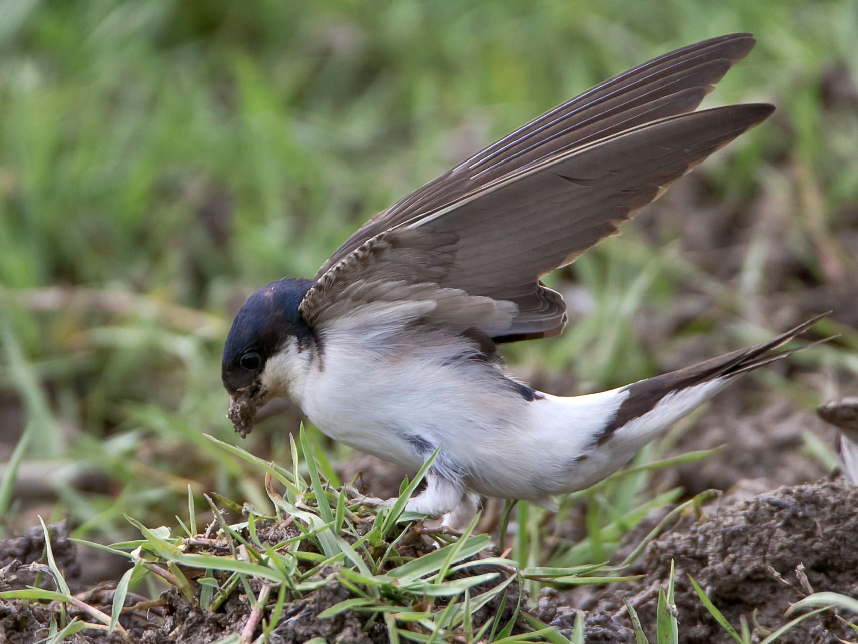 Mehlschwalbe sammelt Nestbaumaterial