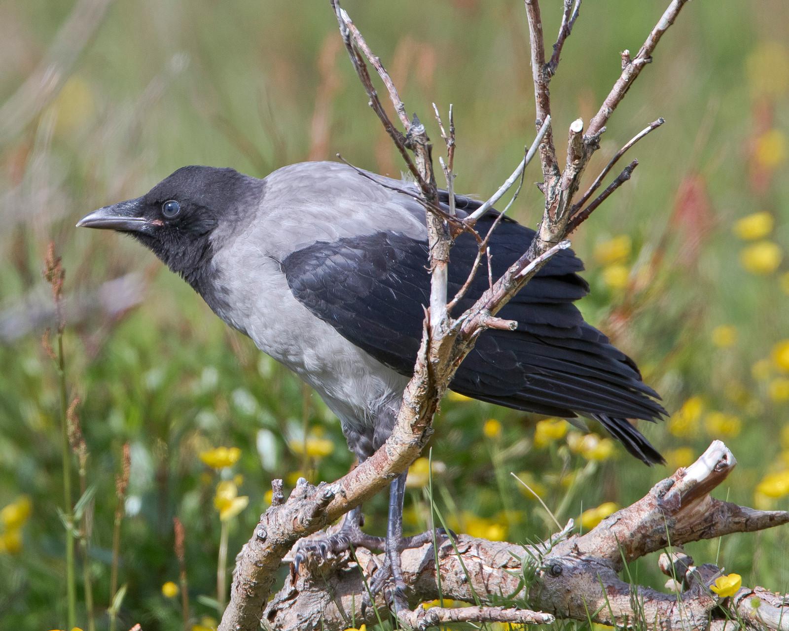 Eine juvenile Nebelkrähe möchte wohl noch etwas gefüttert werden