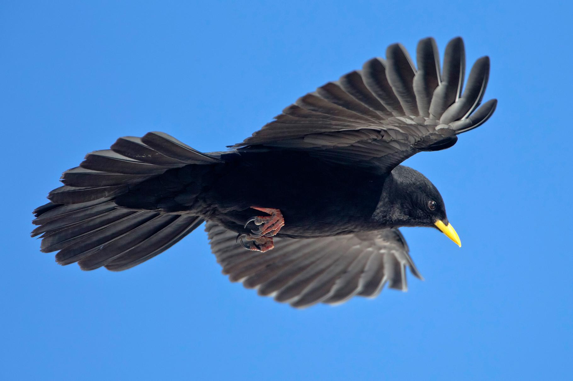 Anwesend sind auch viele Alpendohlen, die ihre akrobatischen Flugmanöver und Schwebeflüge zeigen.