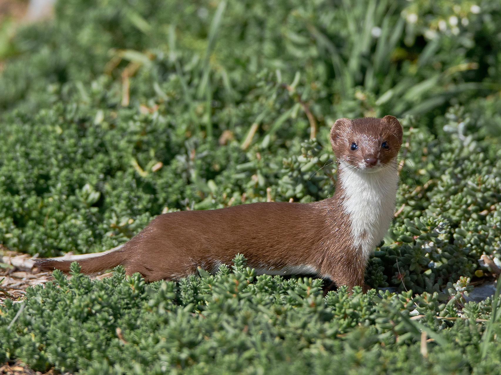Das Mauswiesel hat nur gerade mal eine Kopfrumpflänge von ca. 25 cm...