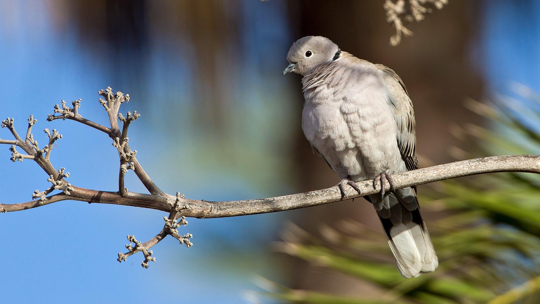 Türkentauben sind die wohl häufigsten Vögel auf der Insel
