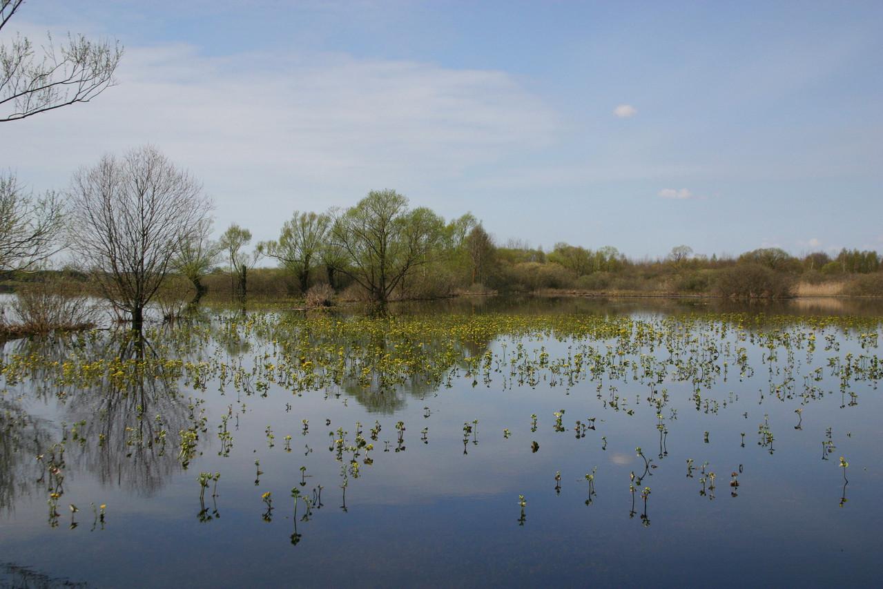 Blühende Sumpfdotterblumen in den Sumpfwiesen