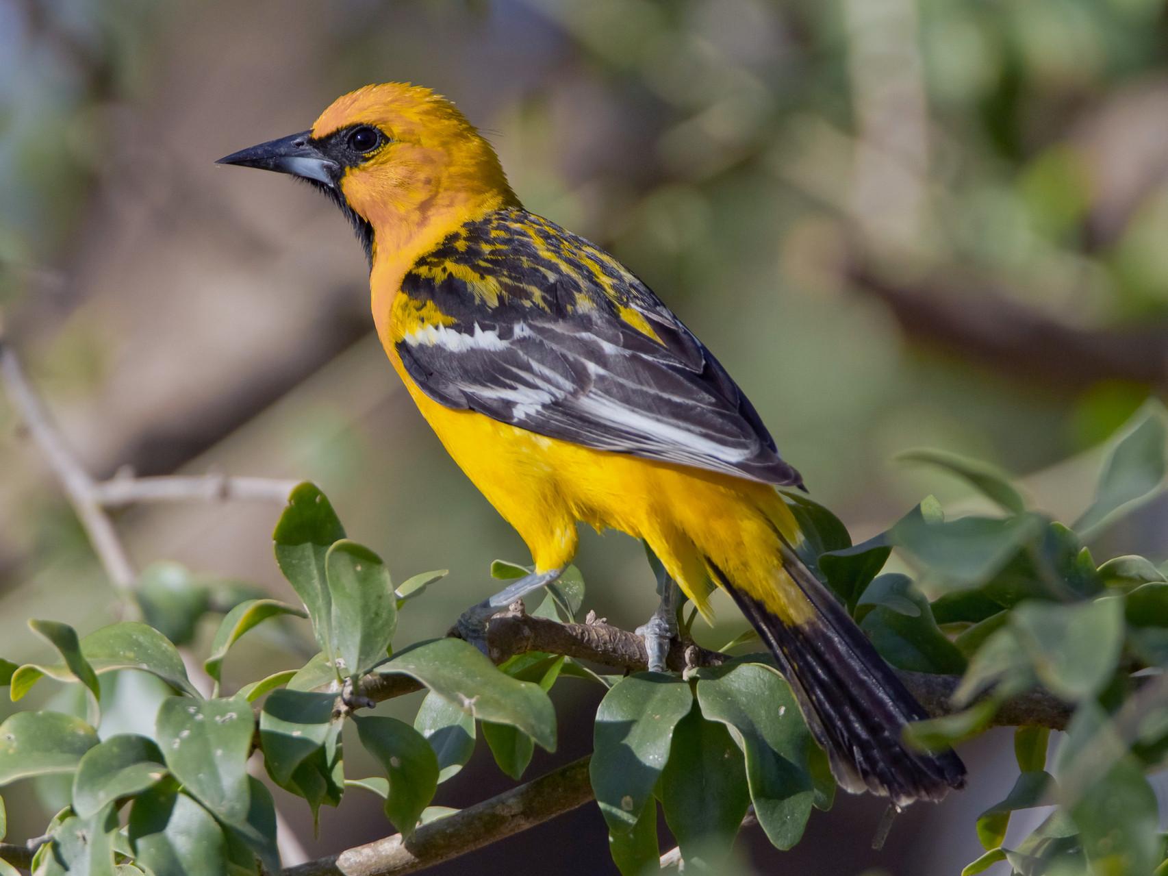 Piroltrupial, Tamarindo, Costa Rica