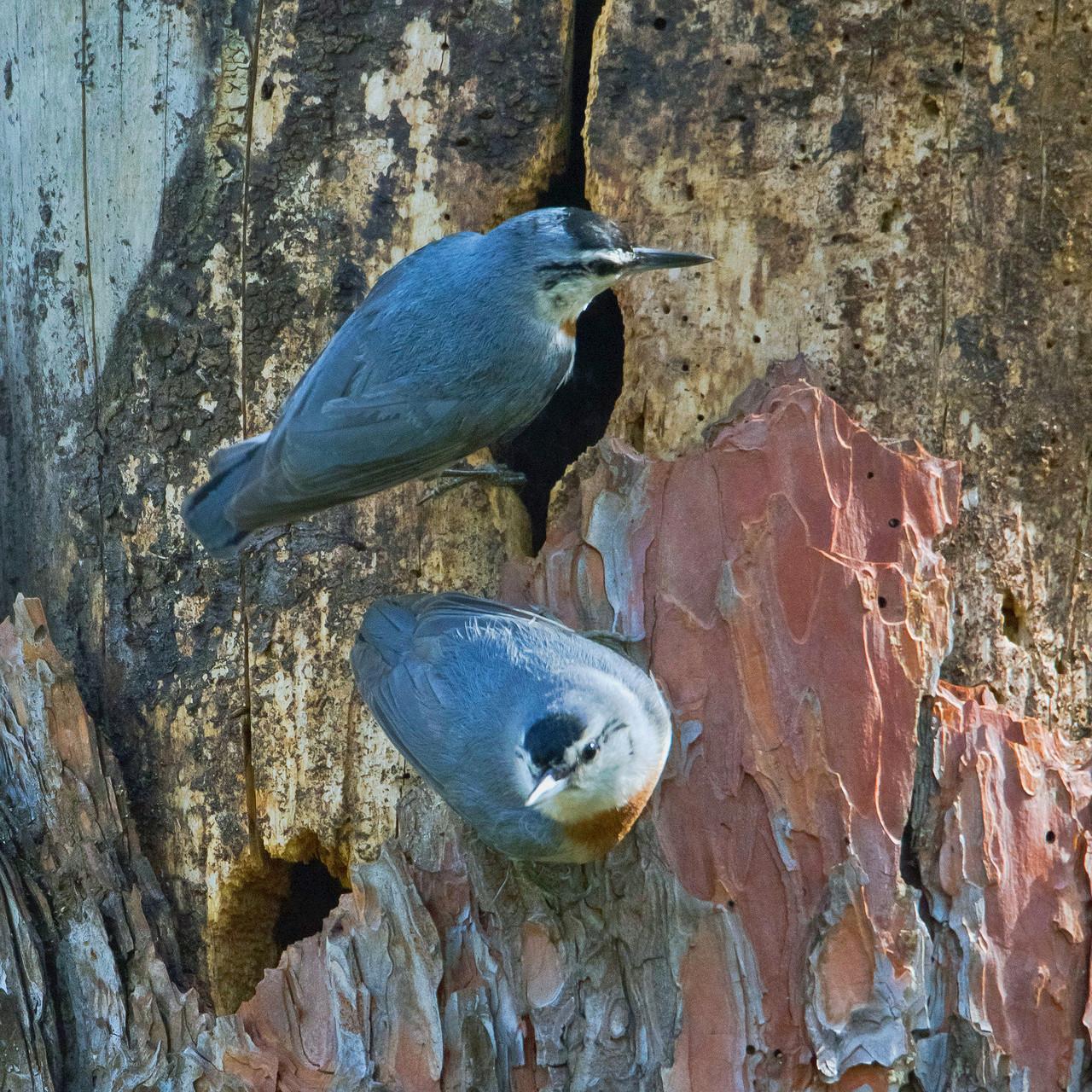... brütet mit wenigen Paaren im Achladeri Forest