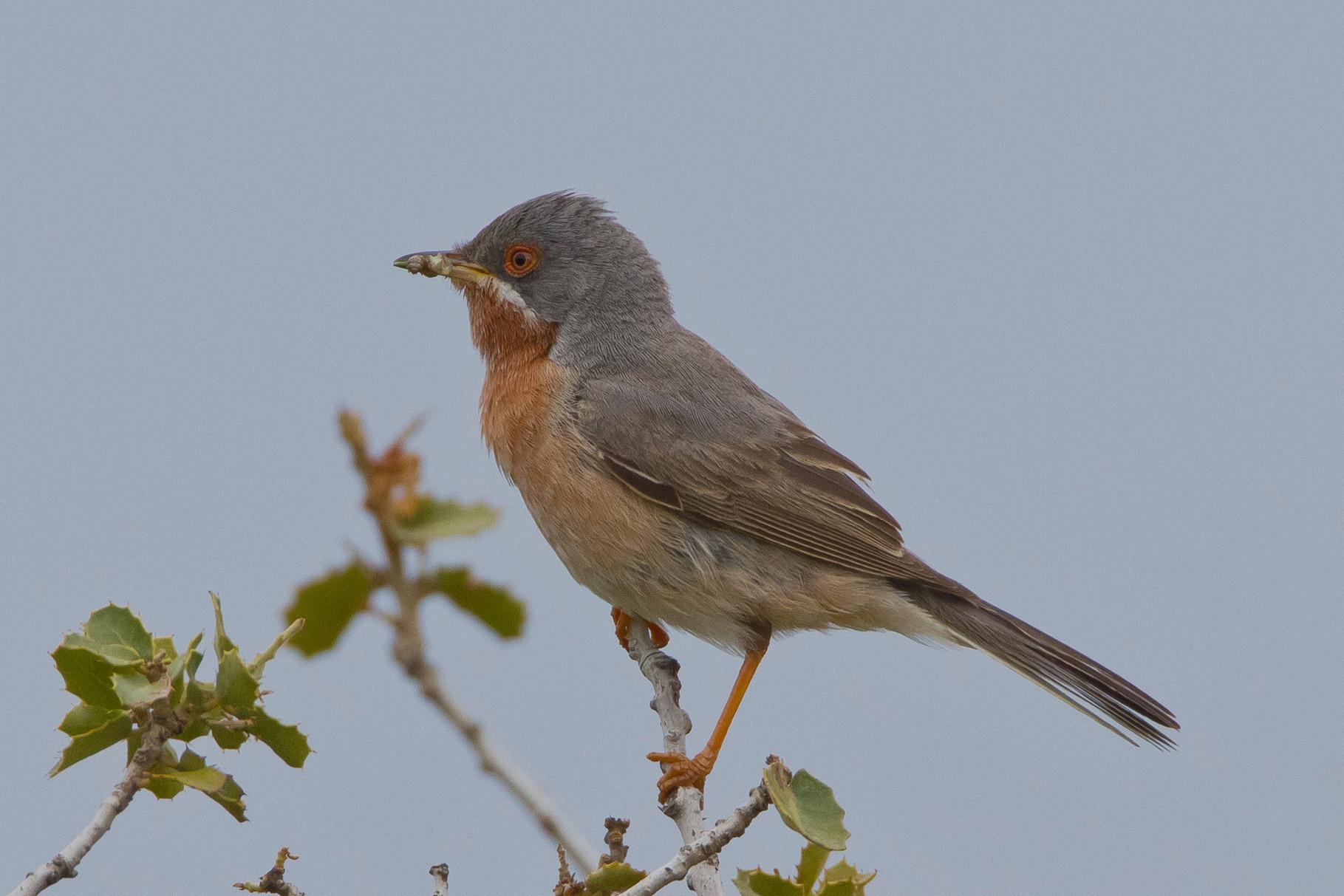 ...trifft man auch auf andere hübsche Vögel, wie die Weissbart-Grasmücke...
