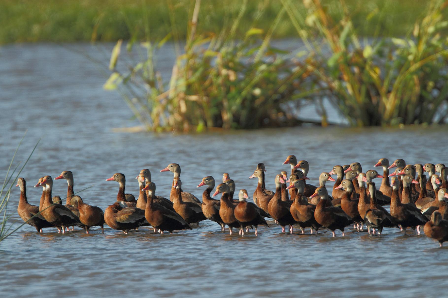 ...mit unzähligen Wasservögeln, hier Rotschnabel-Pfeifgänse