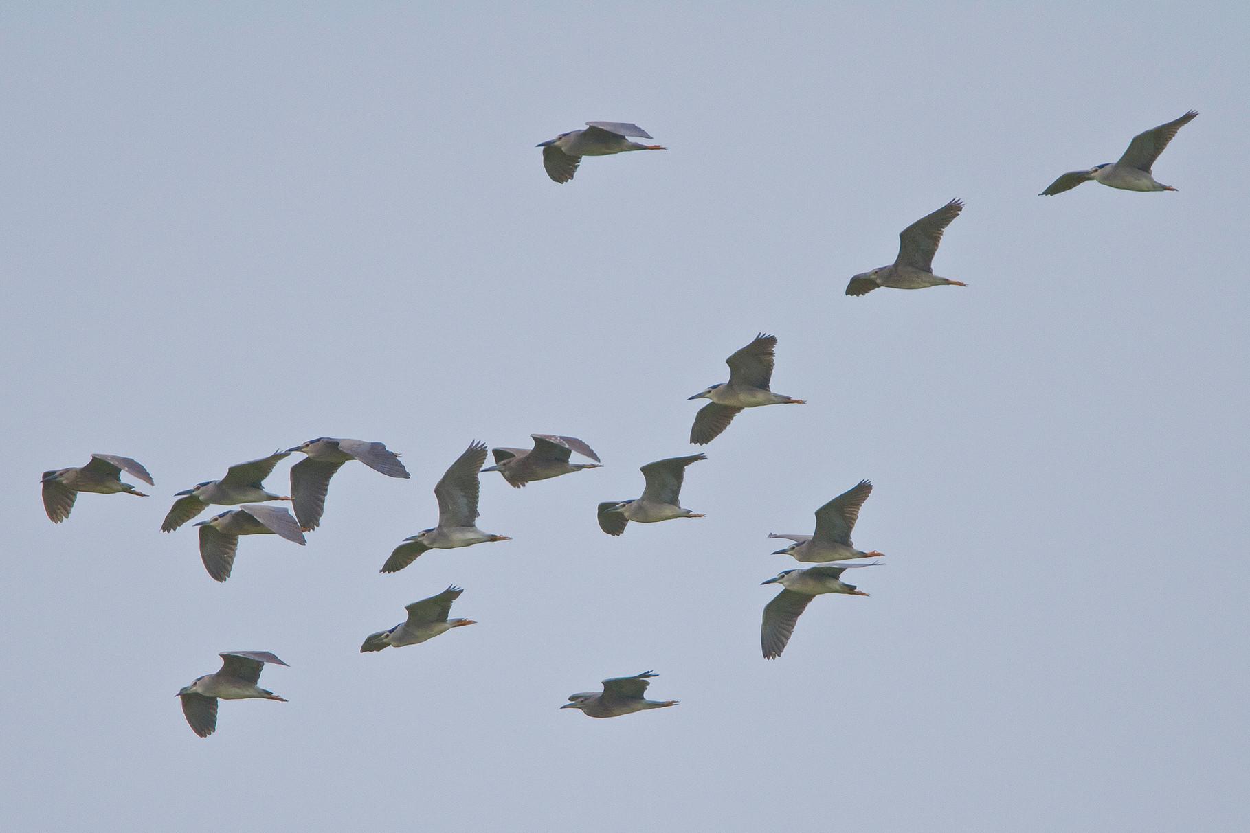 Ein Trupp von 18 Nachtreihern fliegt in den Salzpfannen von Kalloni ein