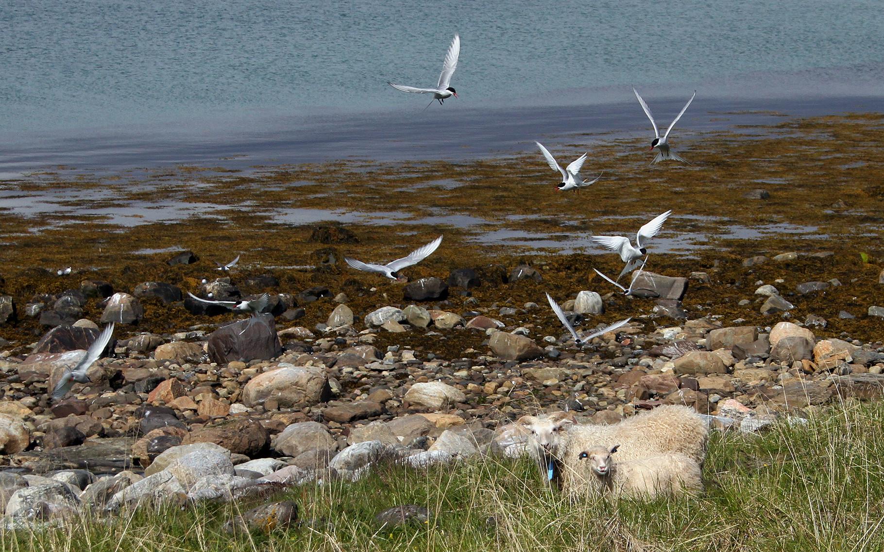 Ein paar Schafe bringen etwas Unruhe, als sie mitten im Brutgebiet der Küstenseeschwalben weiden