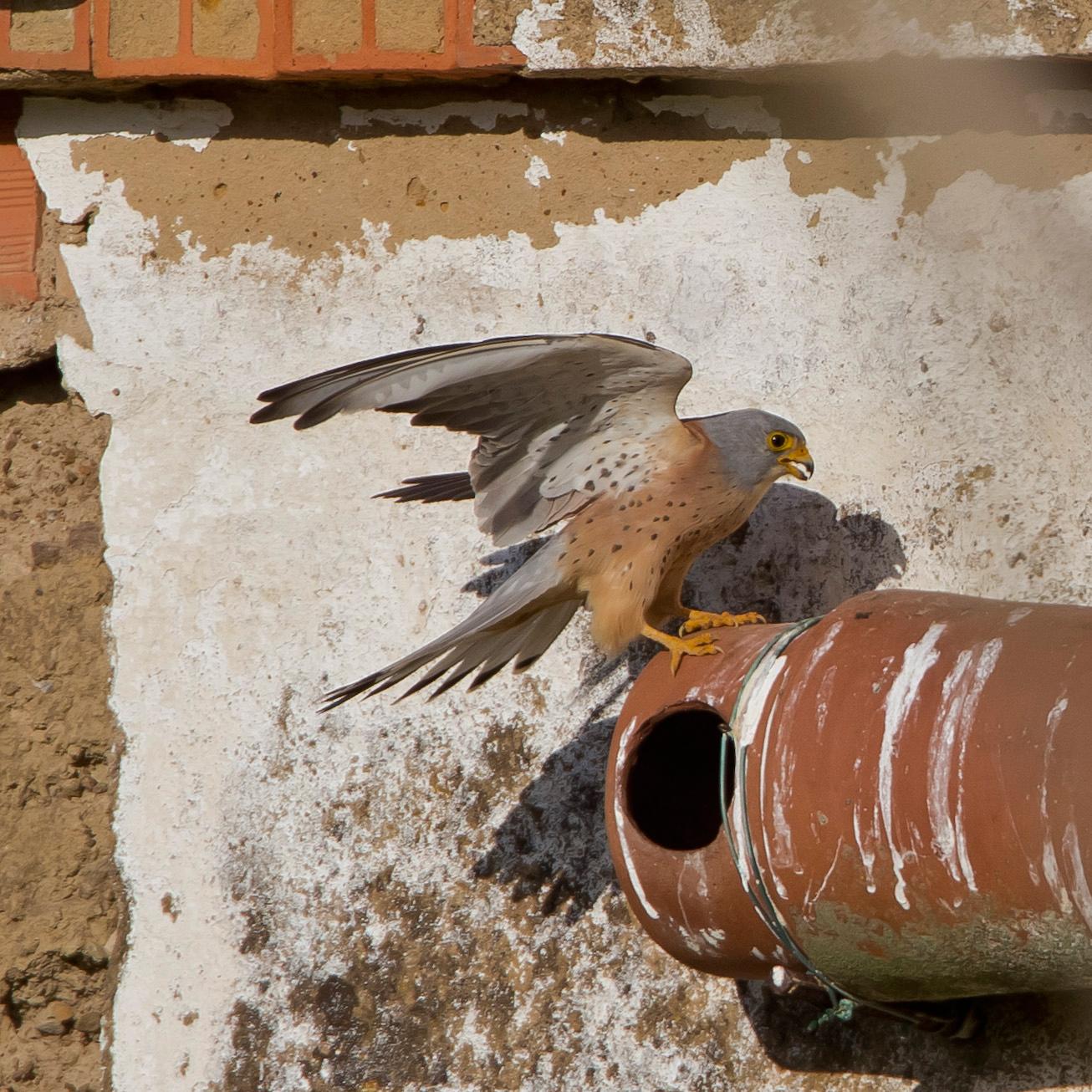 ... brüten in alten zerfallenen Häusern, oft auch in speziellen Nistkästen