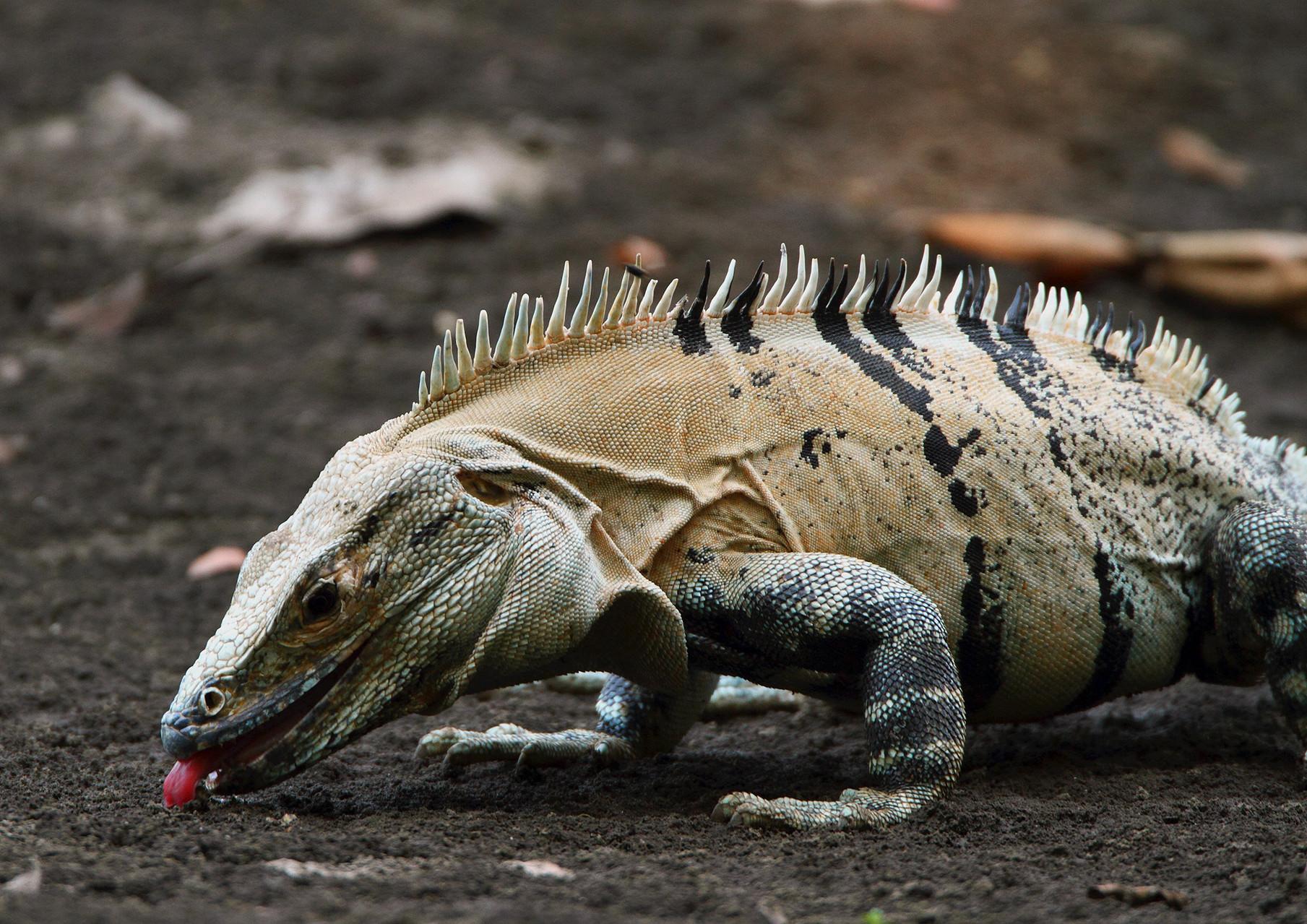 ...Leguane...