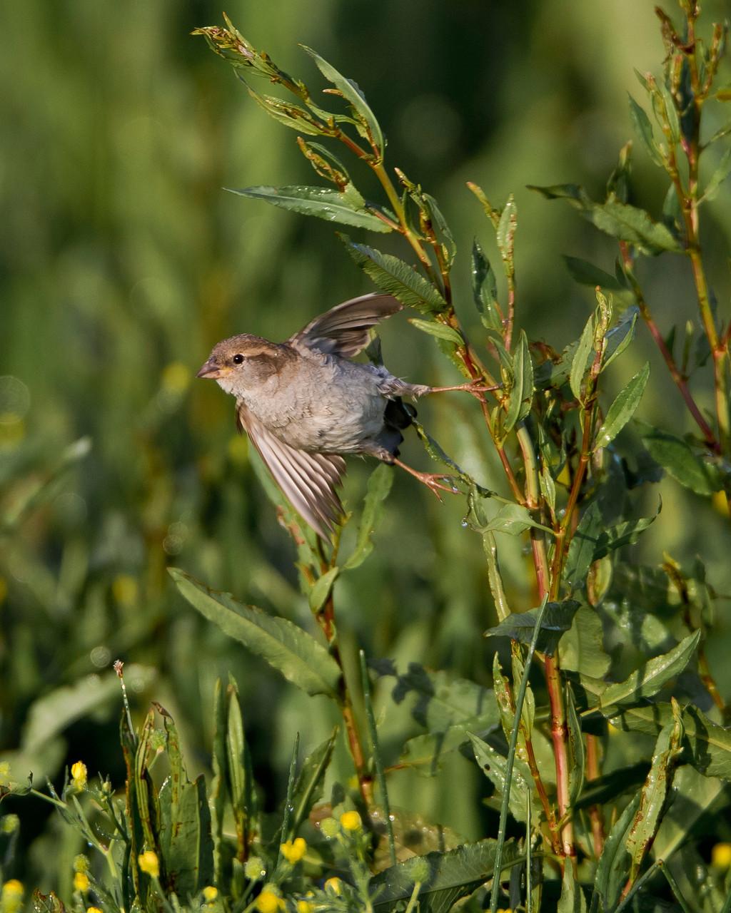 Ein kühner Absprung - Haussperling-Weibchen