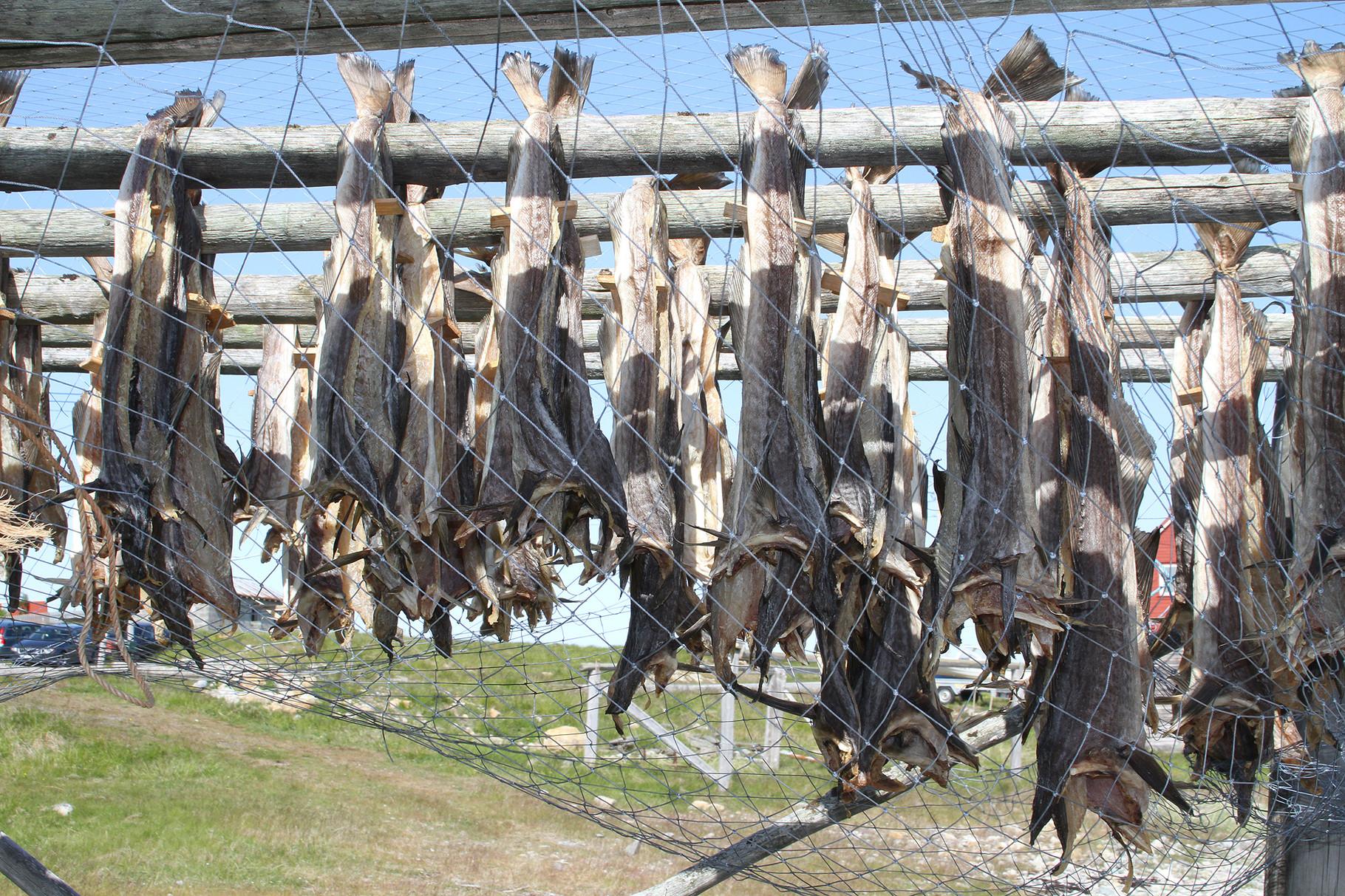 Überall entlang der Küste werden Stockfische in speziellen Gestellen luftgetrocknet