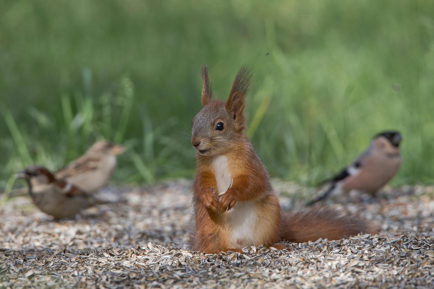 ...auch regelmässig ein Eichhörnchen ein