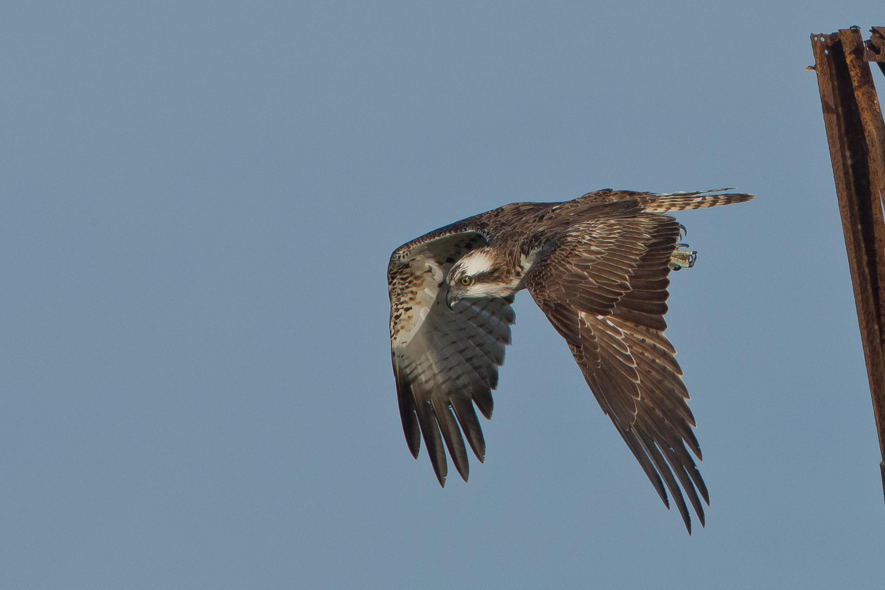 Ein Fischadler fliegt immer wieder von einem Mast weg...