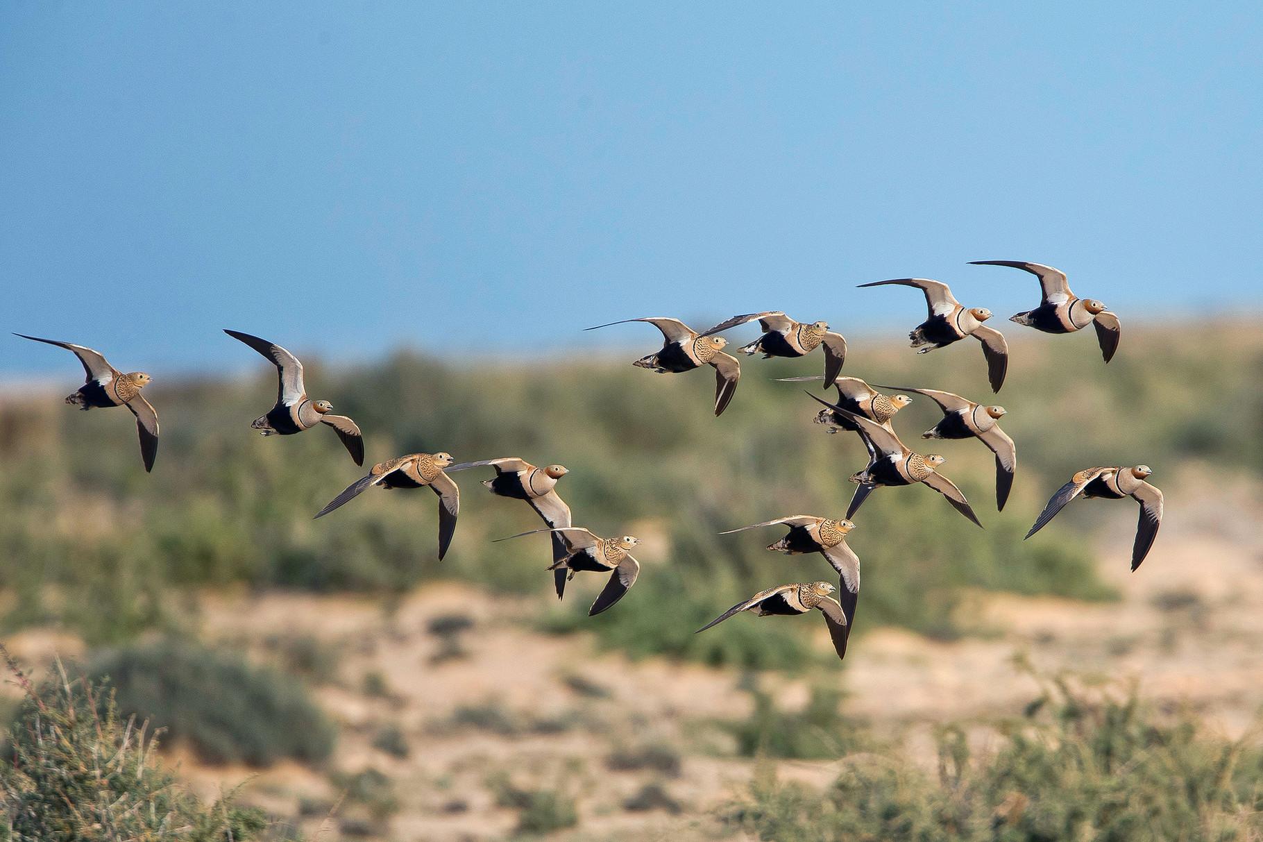 Immer wieder zeigen Trupps von Sandflughühnern...