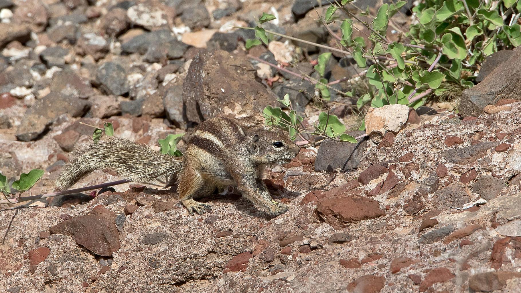 Atlashörnchen leben in felsigen Gegenden...
