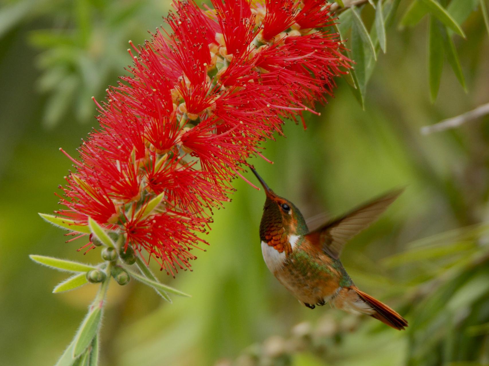 ...und zahlreiche Kolibriarten wie die Orangekehlelfe...