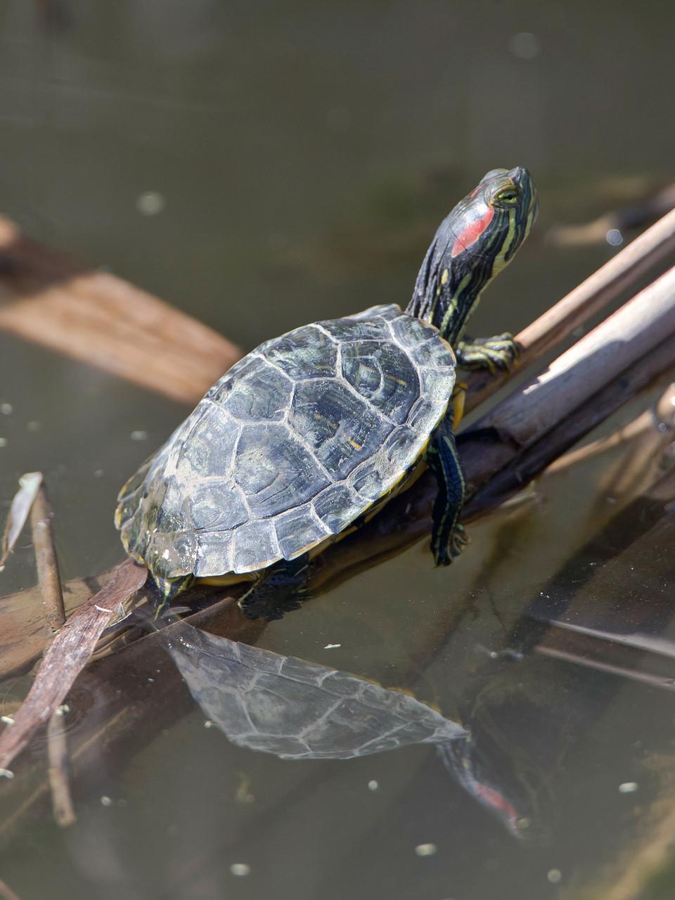 Sumpfschildkröte in Albufera