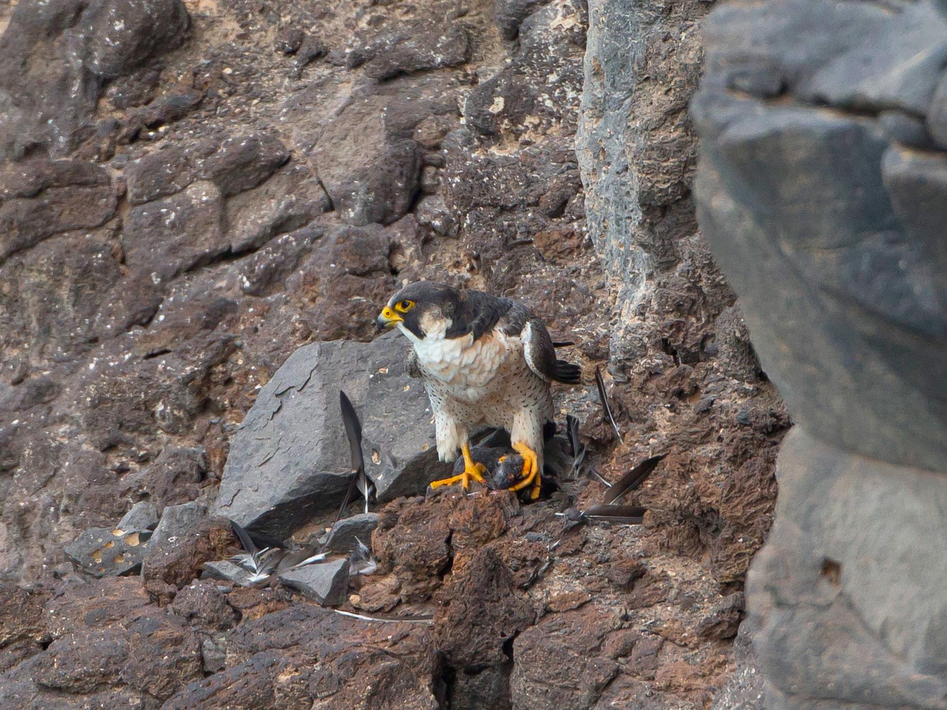 Dort treffen wir auf einen Wüstenfalken, ein naher Verwandter des Wanderfalken ...