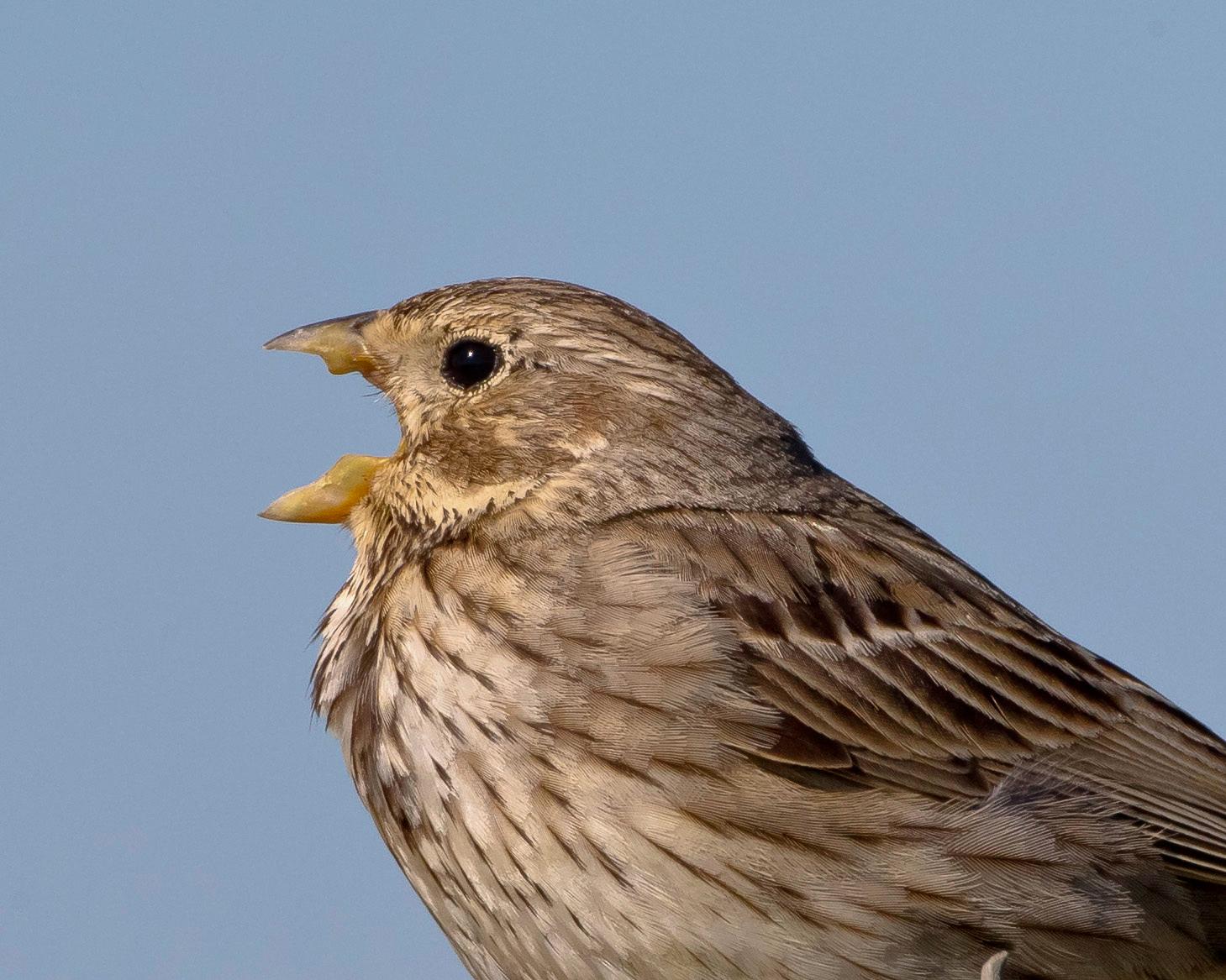 Die Männchen singen praktisch ununterbrochen