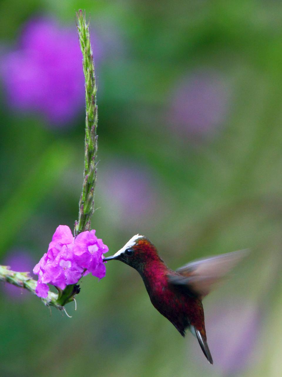 Eine der begehrtesten Kolibri-Arten ist die Schneekappe